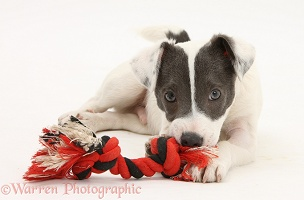 Jack Russell Terrier pup chewing a ragger toy