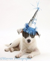 Jack Russell Terrier pup wearing a party hat