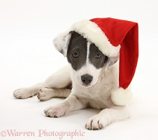 Jack Russell Terrier pup wearing a Santa hat