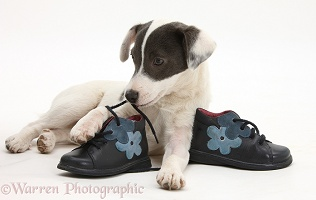 Jack Russell Terrier pup chewing a child's shoe