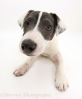 Blue-and-white Jack Russell Terrier pup