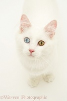 Odd-eyed white cat looking up
