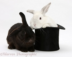 White rabbit in a top hat with black rabbit