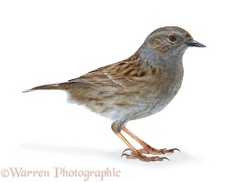 Hedge Sparrow or Dunnock