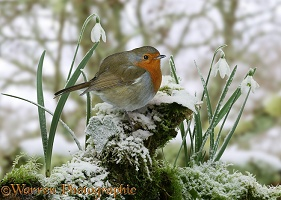 Robin and snowdrops