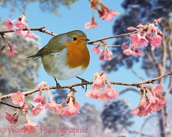 Robin on winter flowering plum