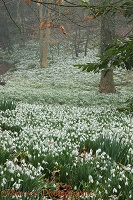 Woodland with Snowdrops