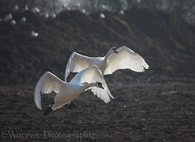 Mute Swans taking off