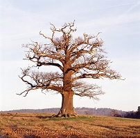 Ockley Oak - Winter 2007