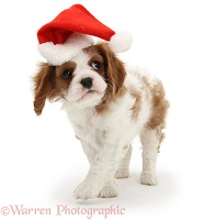 Blenheim Cavalier King Charles pup wearing a Santa hat