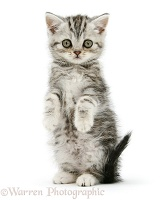 Silver tabby kitten sitting with paws up