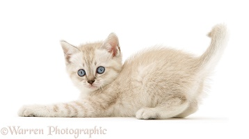 Playful Birman-cross kitten