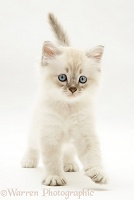 Birman-cross kitten, walking