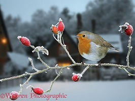 Robin and rose hips