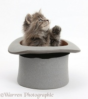 Maine Coon kitten, 7 weeks old, in a top hat