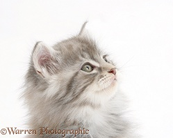 Maine Coon kitten, 7 weeks old