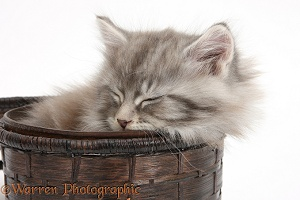 Maine Coon kitten, 7 weeks old, asleep in a basket