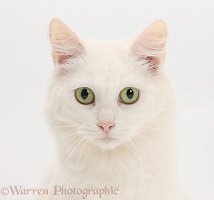 White Maine Coon-cross cat