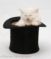 White Maine Coon kitten sleeping in a top hat