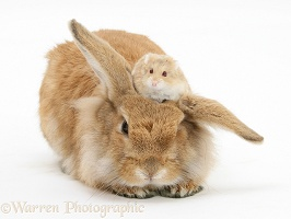 Sandy Lionhead rabbit with Dwarf Siberian Hamster