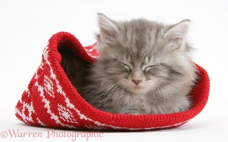 Maine Coon kitten asleep in a Christmas hat