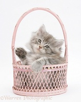Maine Coon kitten, 7 weeks old, playing in a basket