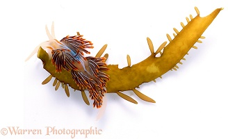Pacific sea slug