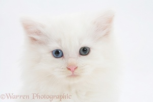 White Maine Coon kitten, 7 weeks old