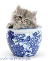 Maine Coon kitten in a blue china pot