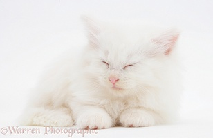Sleepy white Maine Coon kitten, 7 weeks old