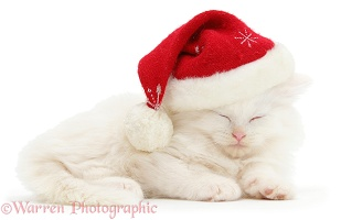 White Maine Coon kitten asleep wearing a Santa hat