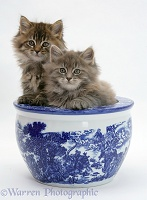 Maine Coon kittens in a blue china pot