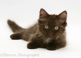 Chocolate Persian-cross kitten, lying with head up