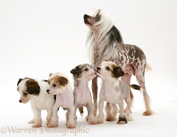 Naked Chinese Crested bitch with her four pups