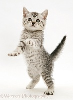 Silver spotted shorthair kitten standing up and reaching out