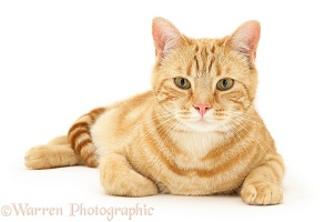 Ginger cat lying with head up
