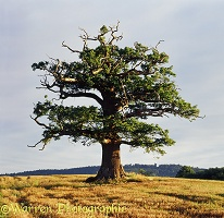 Ockley Oak - Summer