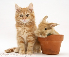 Ginger Maine Coon kitten with rabbit in a flowerpot
