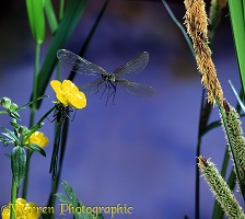 Beautiful Demoiselle in flight
