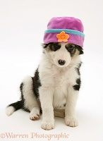 Border Collie puppy with fleecy hat on