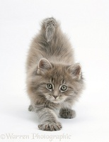 Maine Coon kitten, 7 weeks old, stretching