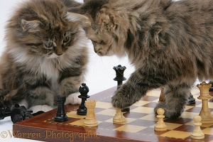Maine Coon kittens playing chess