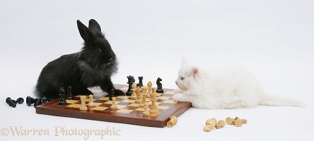White kitten and black rabbit playing chess