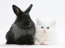 White Maine Coon kitten, 8 weeks old, with black rabbit