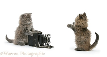 Maine Coon kittens playing with a camera