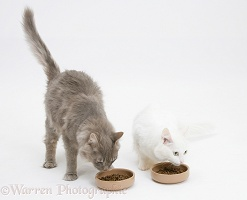 Maine Coon cats eating dry food from bowls