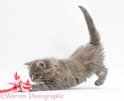 Maine Coon kitten, 8 weeks old, playing with a rope toy