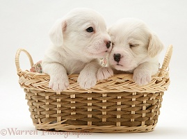 Westie x Cavalier pups in a basket