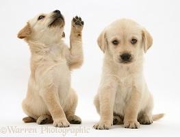 Playful Retriever-cross pups