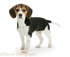 Beagle pup standing